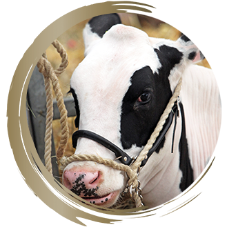 Agricultural, Cattle, Dairy, Show